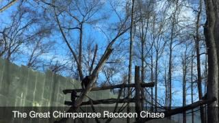 download lagu Chimpanzees Versus Raccoon gratis