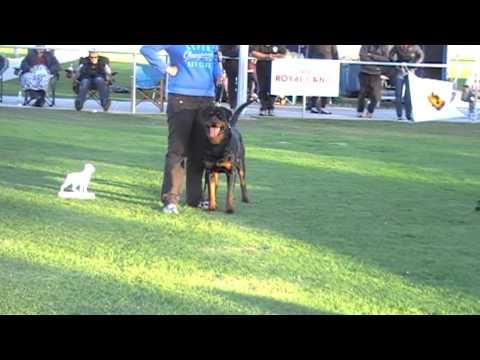 2013 Rottweiler National SA. ADRK. Judge Anton Spindler -  Best Head in Show Award