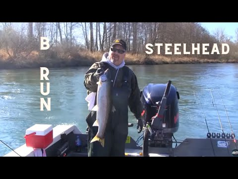 Cowlitz River B Run Steelhead