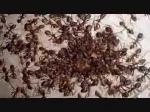 Inilah Ratu Semut Rangrang (Mesin Petelur Kroto)
