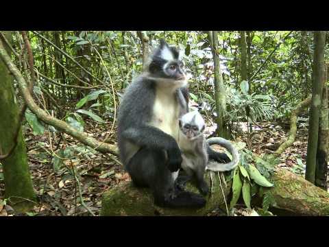 INDONESIA thomas leaf monkey, Gunung Leuser n.p. (hd-video)