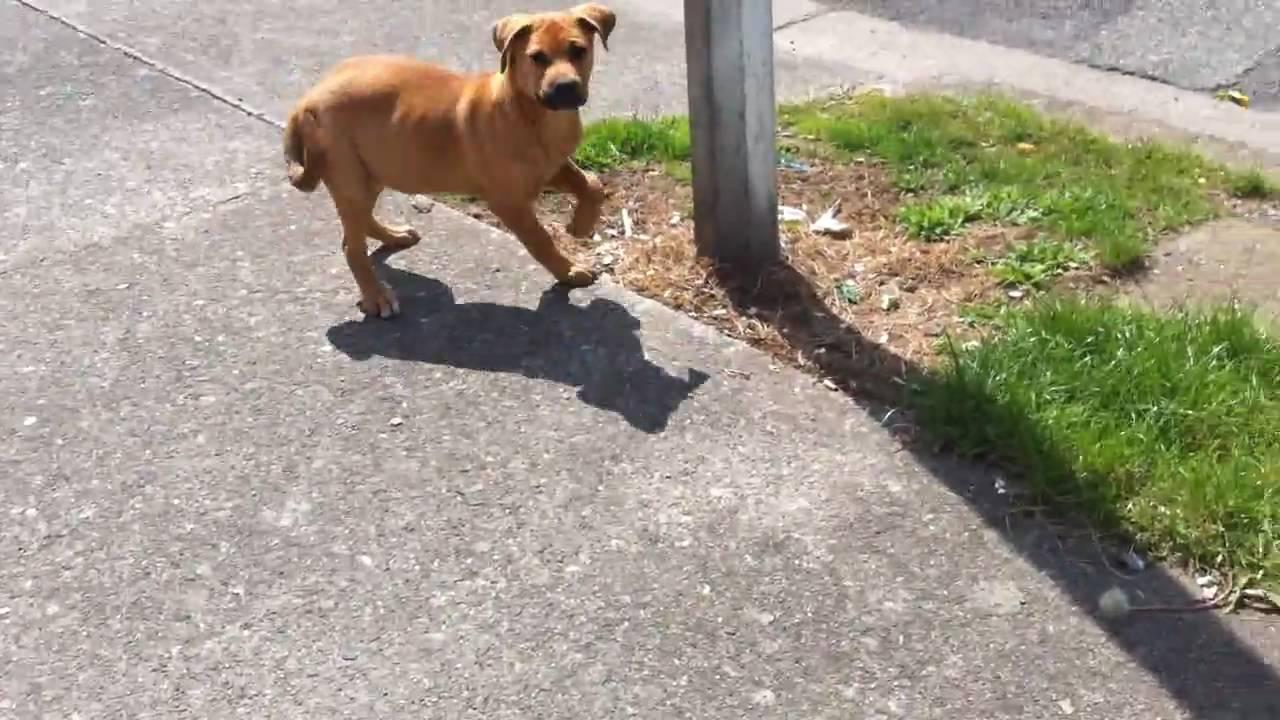 (Molly) Rottweiler cross American Bulldog ...