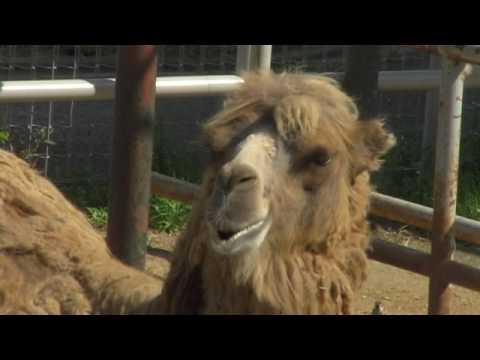 フタコブラクダ@天王寺動物園 Bactrian Camel @Tennoji Zoo Osaka Japan