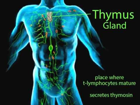 The Lymphatic System 1