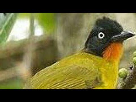 Burung kutilang emas cukup gacor suara asli