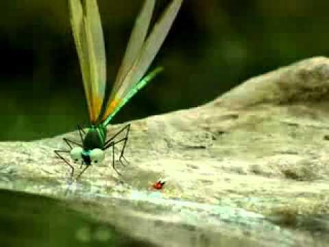 Minuscule-libellules - Rujak Toon - Capung Rebutan Air video