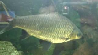 Lolclassic.com - Australian-pearl-arowana-parrot-fish-malawi-amp-south ...
