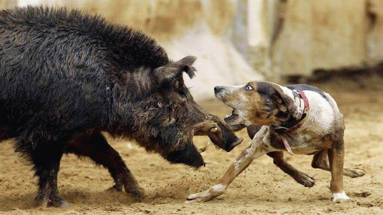 Hunt Wild Pig  Your Wild Pig Hunting Resource