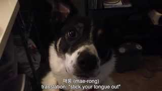 [Border Collie + Cool Dog Tricks] Video