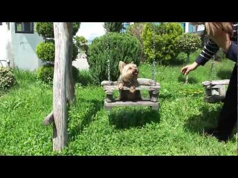 Yorkie dog like to swing