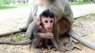 Oh Leo angry with Bela so hurt, Giant baby monkey Leo do not bite Bela!