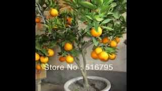 Mi presentación de bonsais de frutales