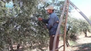 من الحبة إلى الزيت فالاستهلاك- موسم الزيت في عفرين لعام ٢٠١٦ | عفرين- سوريا
