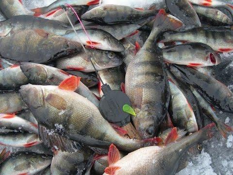 рыбак поймал 27 щук карасей и окуней