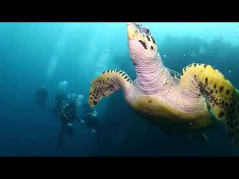 Bali DIving HD - Huge Hawksbill Turtle at USAT Liberty - Bali Nurkowanie