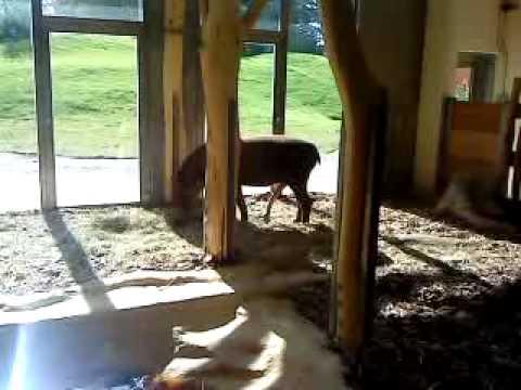 Giant Tapir Penis im Zoo Schönbrunn