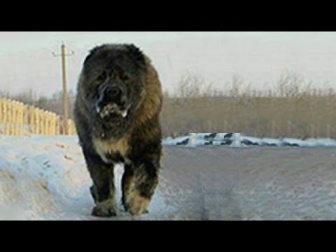TOP 10 BIGGEST DOGS IN THE WORLD
