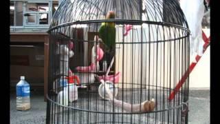 Love Bird jantan super.wmv