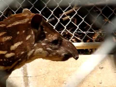 Cute Tapir Baby バクの赤ちゃん