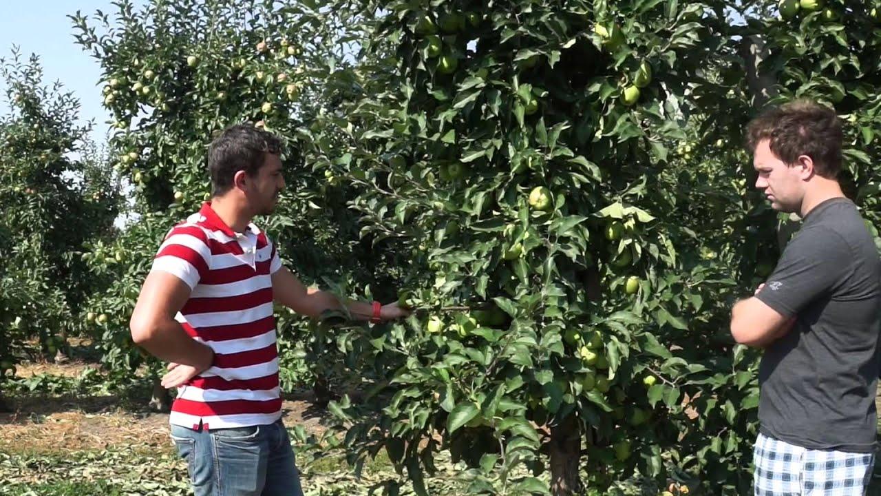 uprawa jabłek, przechowywanie owoców, wapń w roślinach dowiedz się o co chodzi, gorzka plamistość podskórna, nawozy dolistne, choroby przechowalnicze, jędrność owoców, gpp, biocal, przetchlinki, forum sadownicze