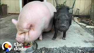 Watch What Friendship Does for a Depressed Pig | The Dodo