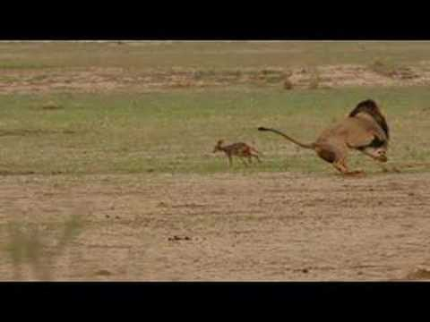 Lion and Jackal Encounter in the Kalahari (Khalagadi)