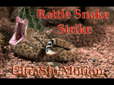 Rattle snake striking mouse in Slo motion