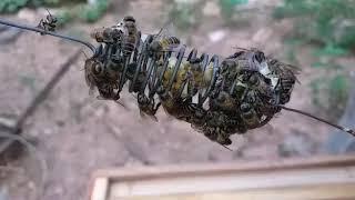 """Cách bảo vệ mũ chúa và chúa tơ mới nở cho người mới nuôi ong mật """"săn bắt đồng nai """""""
