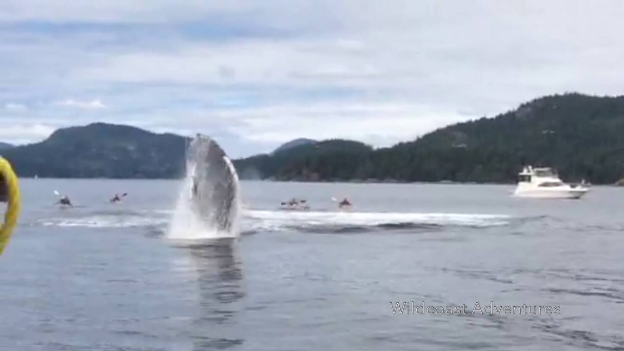 Humpback Whales Surprise Onlookers With Huge Splashes Off The Coast Of Canada