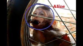 Adorable Baby Monkey Aliza Hungry Milk | Funny Baby Monkey Aliza