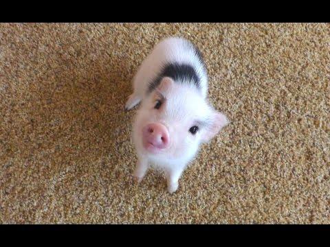 Mini Pig - A Cute Micro Pig Videos Compilation 2016    NEW HD