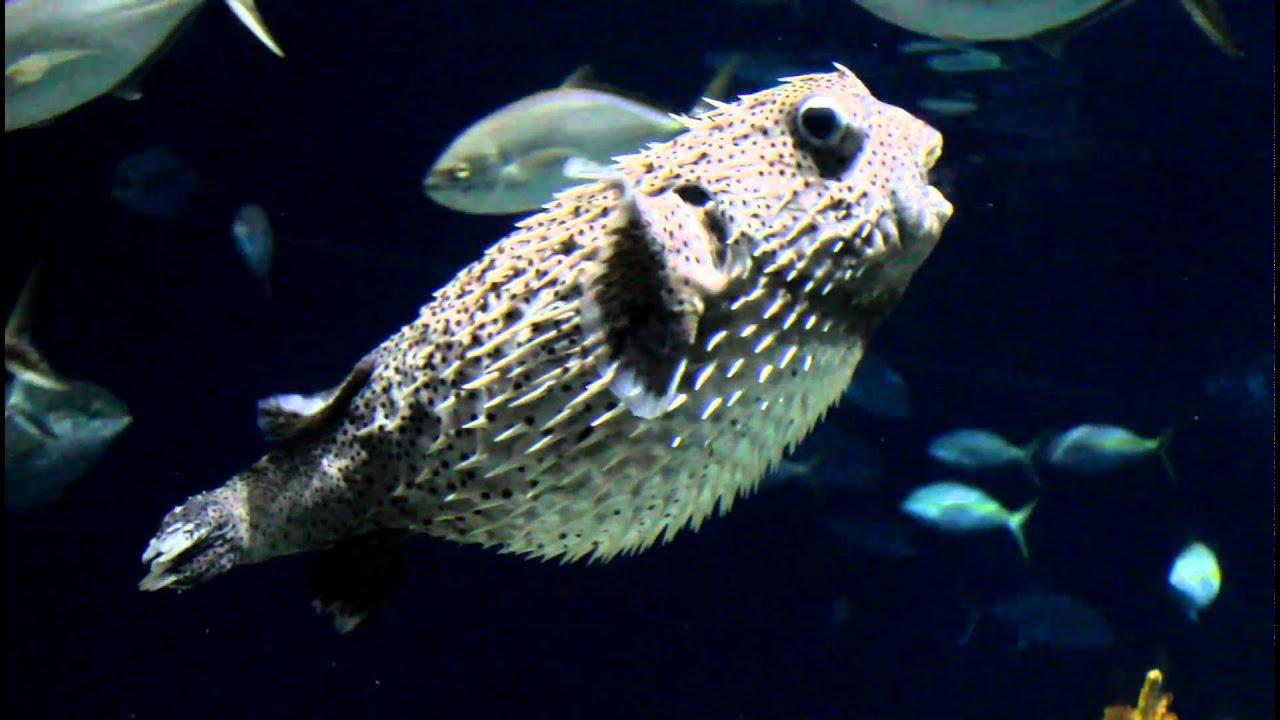 Puffer fish deflate youtube for Blowfish vs puffer fish