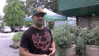 Medi One outdoor organic GeoPot parking lot grow,  tips on gardening