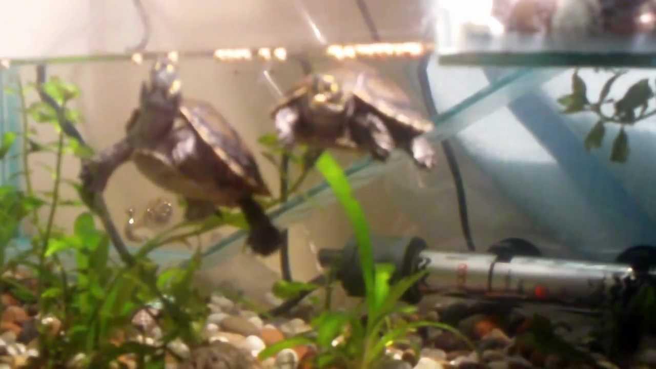 Cambio de fondo acuario tortugas charapitas youtube for Acuario tortugas