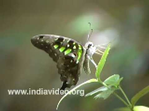 Tailed Jay or Graphium Agamemnon