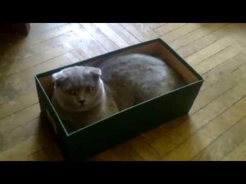 Кот в коробке, Самый смешной Кот в Мире, Британский Кот, Прикол с Котом.