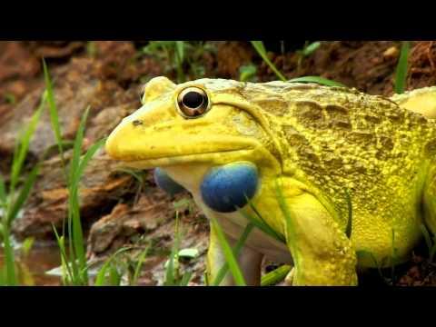 Indian Bullfrog (Hoplobatrachus tigerinus)