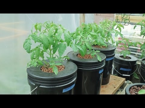 Kratky Method Dwc Compost Tea Hydroponics  2 Hydroponic Tomatoes