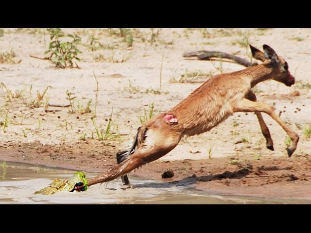 Baby Crocodile vs Baby Impala - Winner is Unexpected