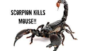 SCORPION KILLS MOUSE!! (OMG) SerpentSityExotics