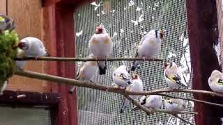 Carduelis Major 2013