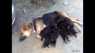 Chó Becre con 2 tháng tuổi 1,95tr lh 0343035817