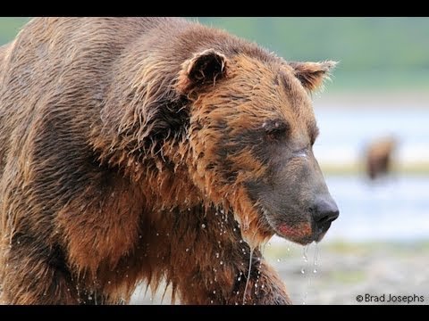 A grizzly Ate My GoPro!!! GoPro HD