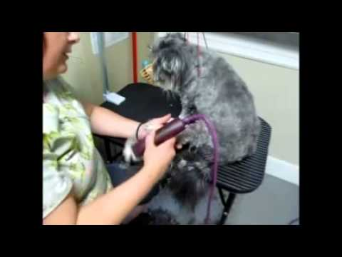 0 Part 1 Grooming the Matted & Fear Aggressive dog   Health Focus Part 1 of 2