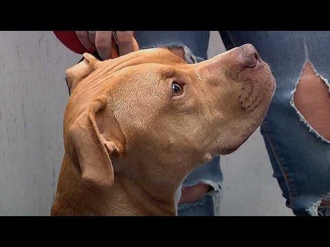 Animalia: Kalla, La Pitbull Que Se Comió Una Pelota De Tenis