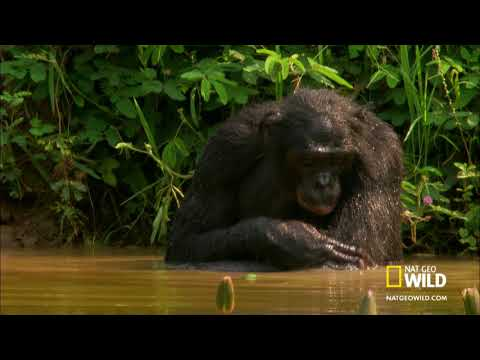 Wild Wives of Africa - Bonobo Love