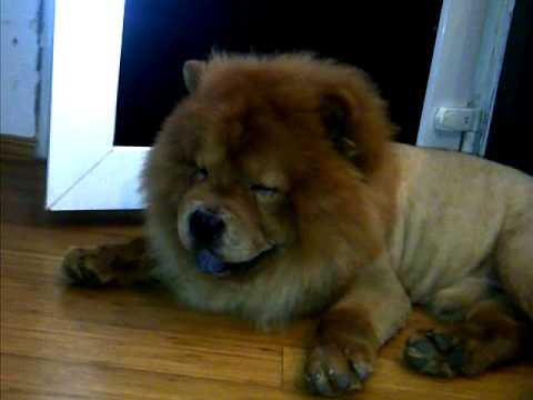 Chow Chow Lion Cut Hqdefault.jpg