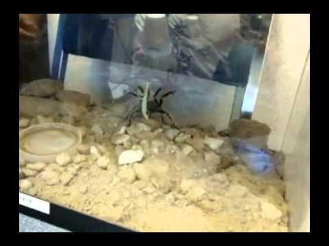 Estadio charizard - Tarantula vs Mantis