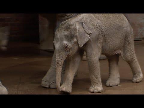 Elefantenbaby auf die Waage gelockt