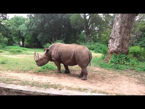 All About White Rhinoceros Endangered Ceratotherium Simum Video
